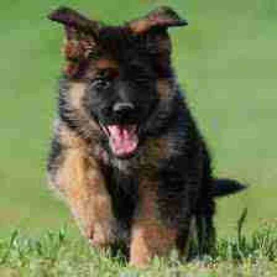 سگ نگهبان ژرمن شپرد  شولاین