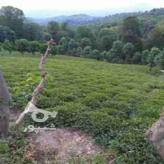 فروش باغ چای