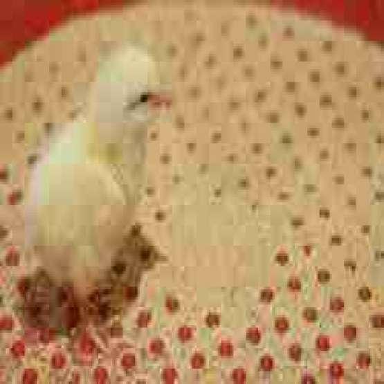 فروش عمده مرغ گوشتی گلپایگان نژاد راس و کاب