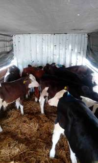 فروش انواع گوساله های پرواری