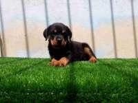 سگ روتوایلر -فروش توله سگ روتوایلر و بالغ  قدرتمند