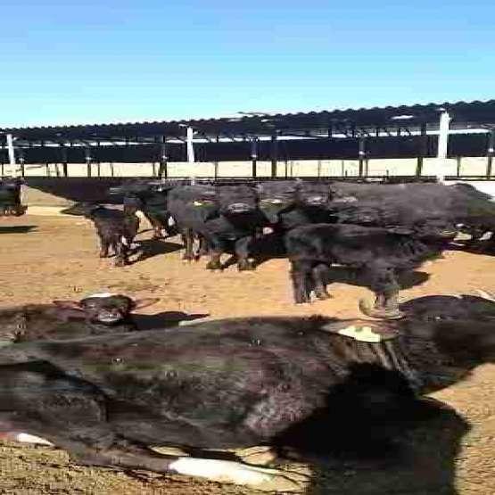 فروش گوساله گاومیش نرو ماده