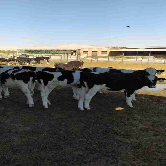 فروش 18 راس گوساله علف خوار هلشتاین